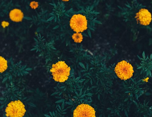 Marigolds have got your back – in the garden!